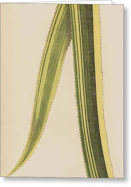 Ananassa Sativa Variegata Greeting Card
