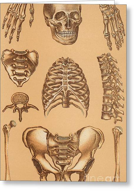 Anatomical Study Of The Human Skeleton, 1896 Greeting Card