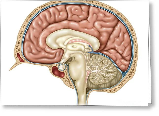 Anatomy Of The Brain, Illustration Greeting Card by Gwen Shockey