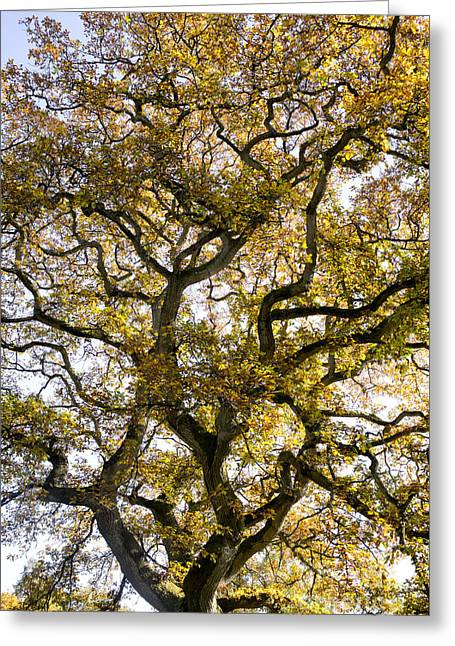 Ancient Autumn Oak Greeting Card by Tim Gainey