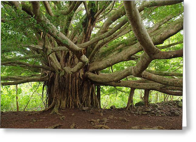 Ancient Banyan Beauty Greeting Card by Phil Stone