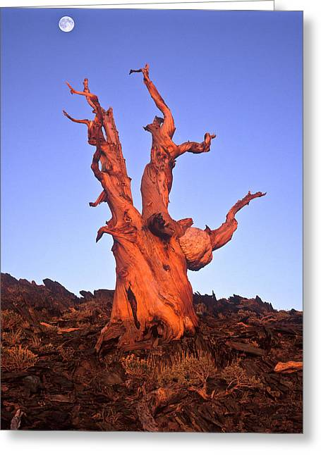 Ancient Bristlecone Pine And Moon Greeting Card