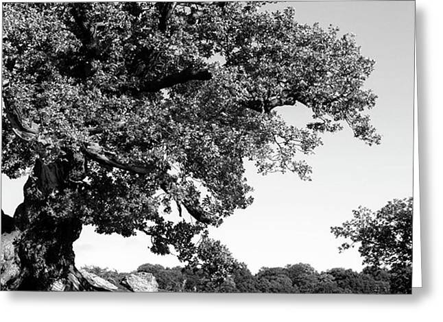 Ancient Oak, Bradgate Park Greeting Card by John Edwards