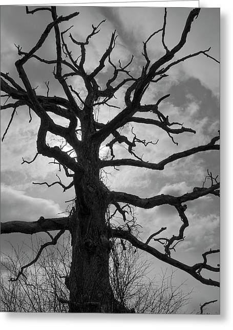 Ancient Oak Tree No. 4 Greeting Card