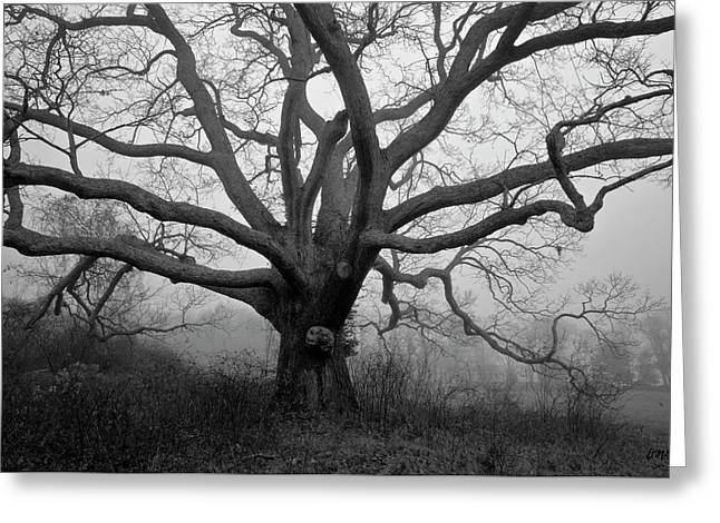 Ancient Oak Tree V - Sheep Pasture Greeting Card