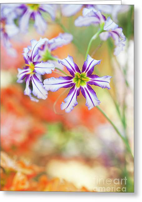 Andean Glory Of The Sun Lily Flowers Greeting Card by Tim Gainey