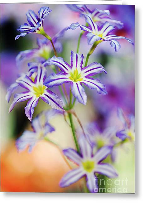 Andean Glory Of The Sun Lily Greeting Card by Tim Gainey