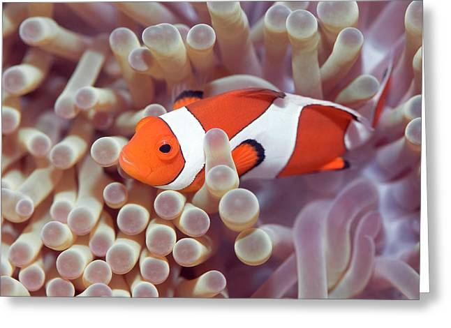 Anemone And Clown-fish Greeting Card by MotHaiBaPhoto Prints