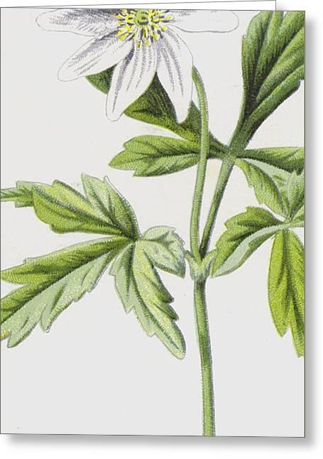 Anemone Greeting Card by Frederick Edward Hulme