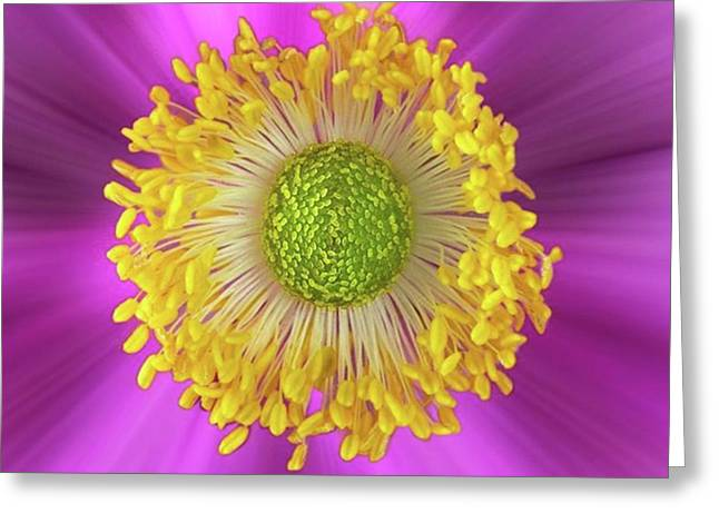 Anemone Hupehensis 'hadspen Greeting Card by John Edwards
