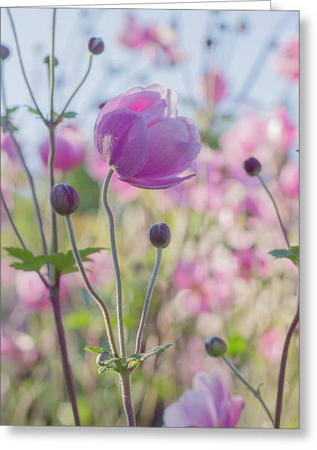 Anemone Softness  Greeting Card