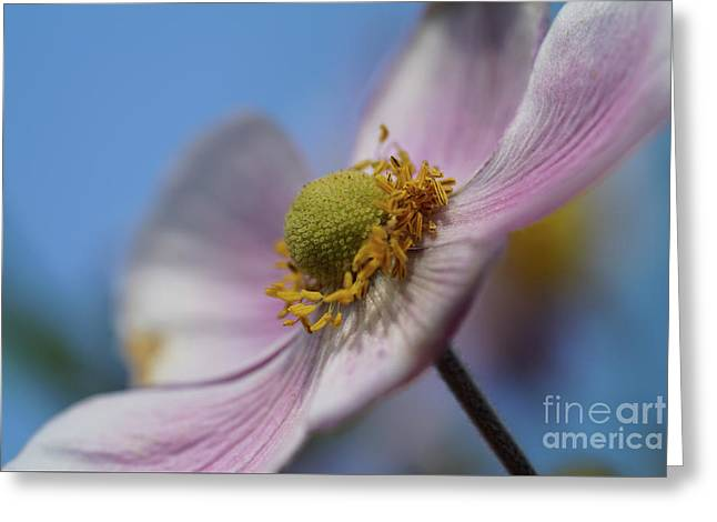 Anemone Tomentosa Close Up Greeting Card
