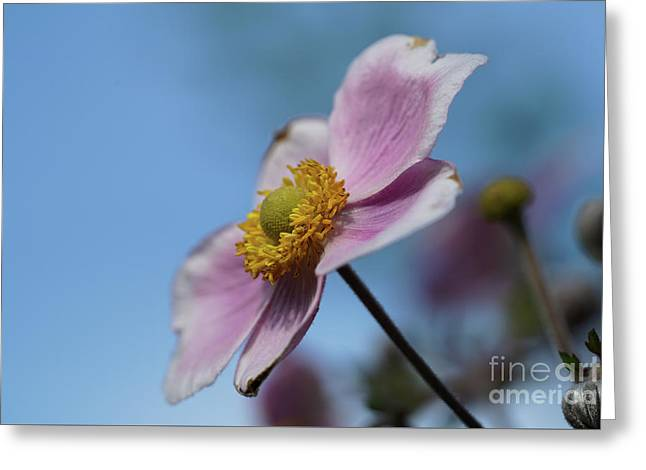 Anemone Tomentosa Flower Greeting Card