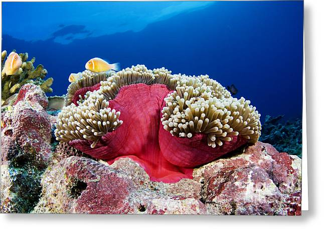 Anemonefish And Anemone Greeting Card by Dave Fleetham - Printscapes
