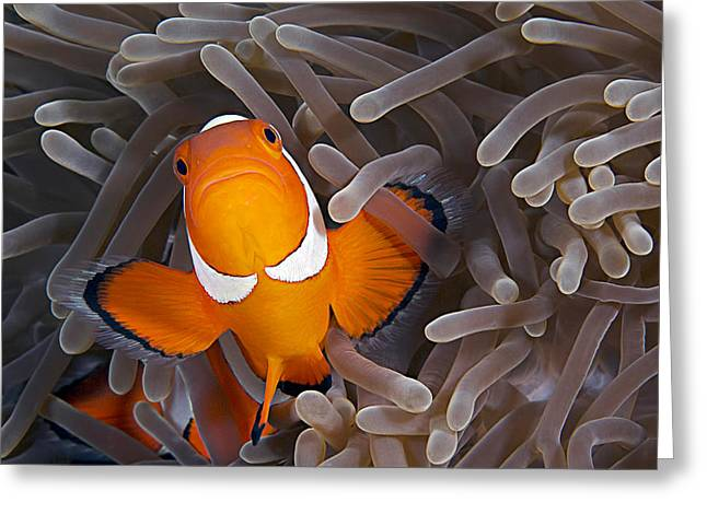 Anemonefish Greeting Card by Henry Jager