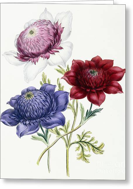 Anenomes Greeting Card