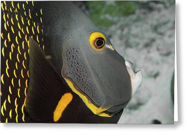 Angel Fish Profile Greeting Card by Jean Noren