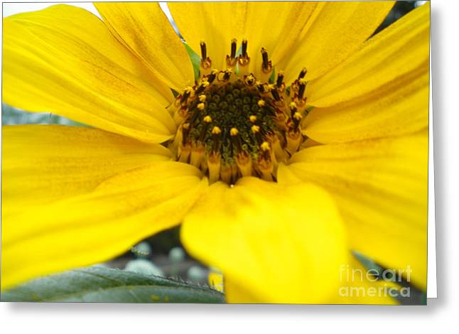 Angled Sunflower Greeting Card