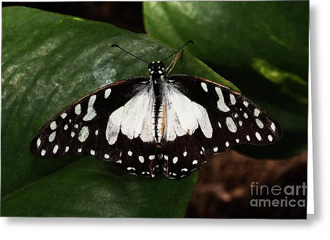 Angola White Lady Butterfly  Greeting Card