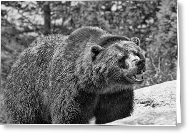 Angry Bear Black And White Greeting Card by Dan Sproul