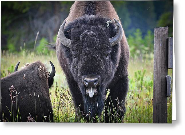 Angry Bison Greeting Card by Greg Norrell