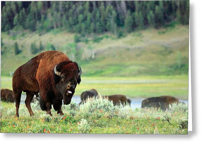 Angry Buffalo Greeting Card by Todd Klassy