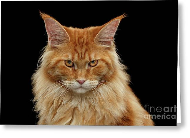 Angry Ginger Maine Coon Cat Gazing On Black Background Greeting Card