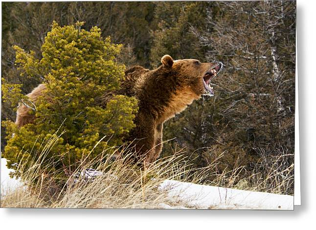 Angry Grizzly Behind Tree Greeting Card