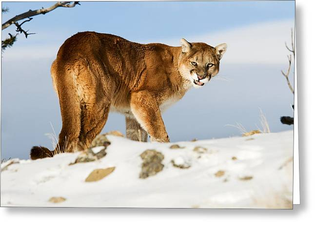 Angry Mountain Lion Greeting Card
