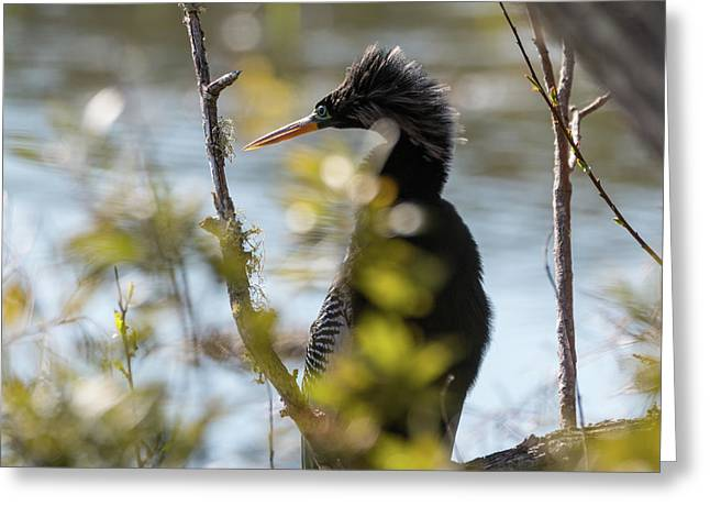 Anhinga 3 March 2018 Greeting Card