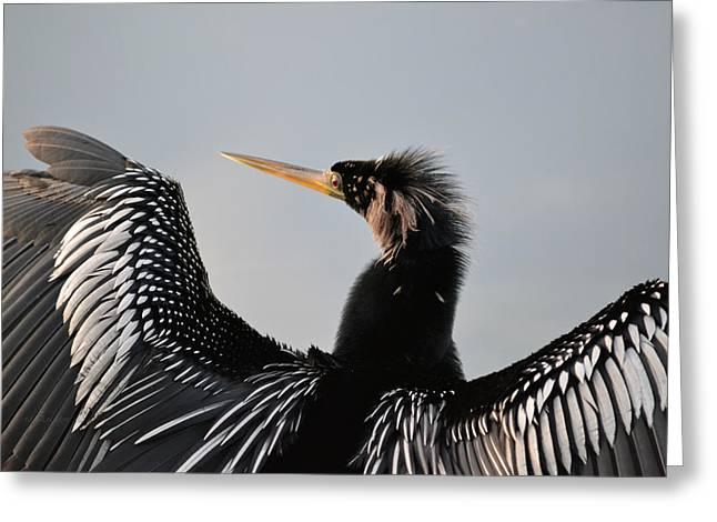 Anhinga Anhinga Portrait - Water Turkey Greeting Card