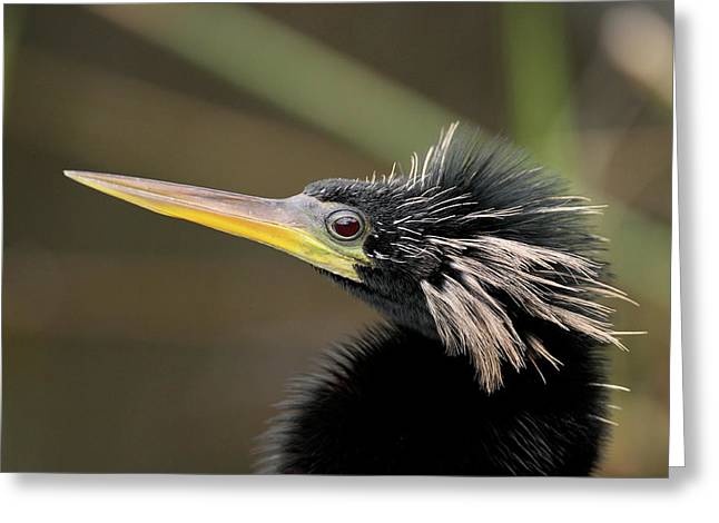 Anhinga Close-up Greeting Card