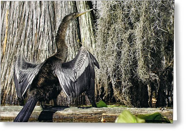 Anhinga Sunbathing In The Swamp Greeting Card