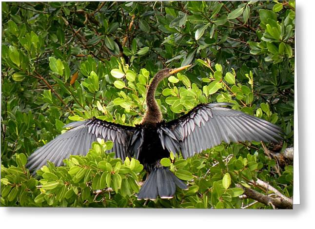 Anhinga With Silver Wings Greeting Card by Rosalie Scanlon
