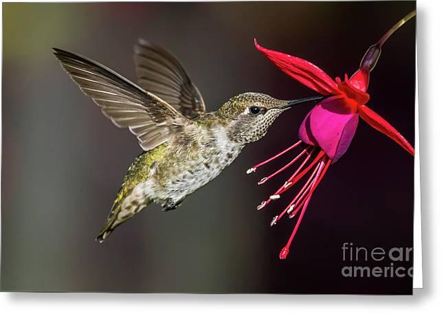Anna Immature Hummingbird Greeting Card