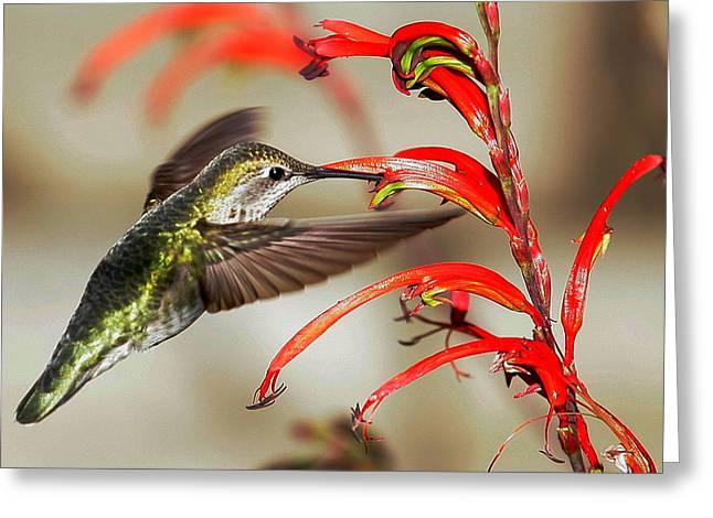Anna's Hummingbird Greeting Card by Andrew Johnson