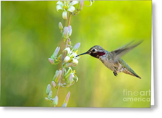 Anna's Hummingbird Greeting Card by Emily Bristor