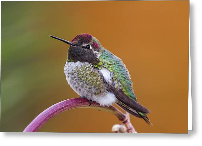 Anna's Hummingbird Greeting Card by Jim and Lynne Weber