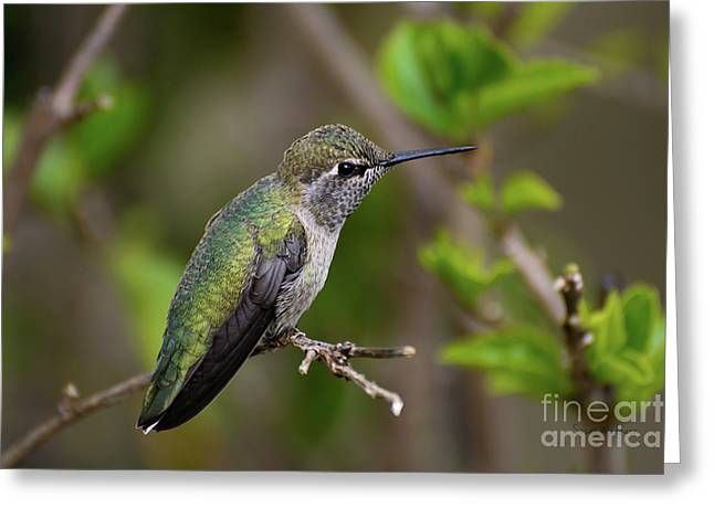 Anna's Hummingbird On Lime Tree Greeting Card