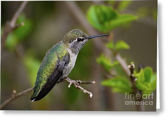 Anna's Hummingbird On Lime Tree Greeting Card