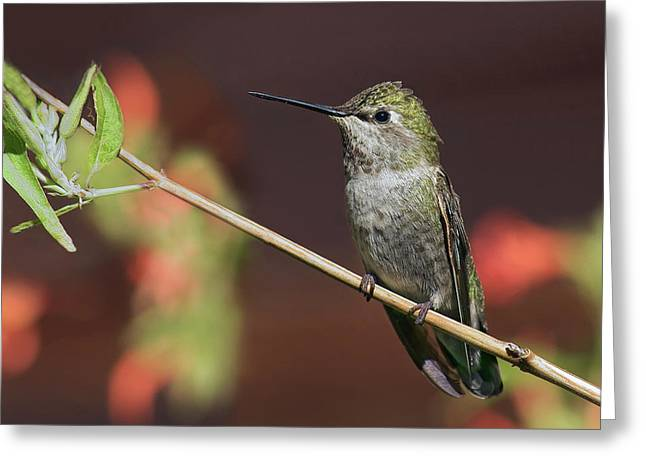 Anna's Hummingbird - Perched Greeting Card by Nikolyn McDonald