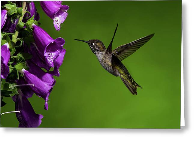 Greeting Card featuring the photograph Anna's Hummingbird With Fox Glove Flowers by Lara Ellis
