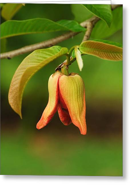Annona Purpurea Flower Greeting Card