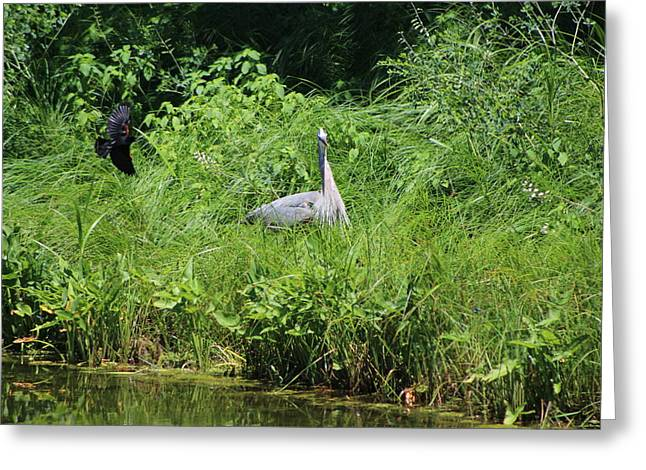 Annoyed - Heron And Red Winged Blackbird 1 Of 10 Greeting Card