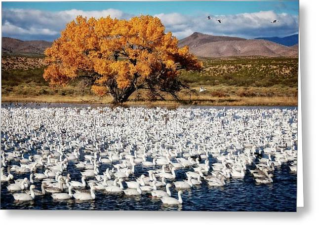 Annual Snow Geese Meet-up, Bosque Del Apache, New Mexico Greeting Card