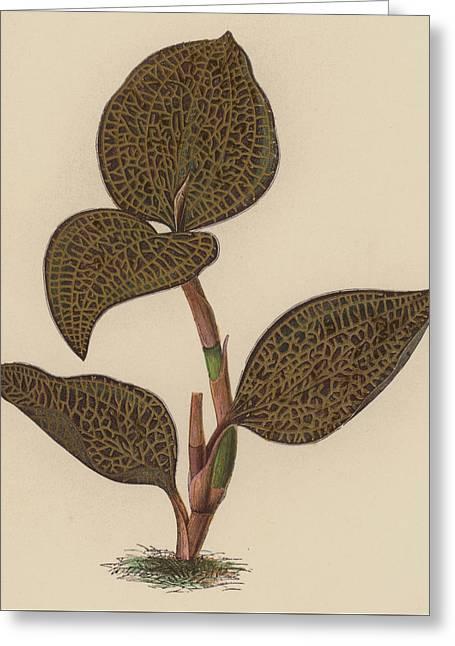 Anoectochilus Setaceus, Aurea Greeting Card by English School