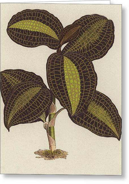 Anoectochilus Setaceus, The Bristly Anoectochilus Greeting Card by English School