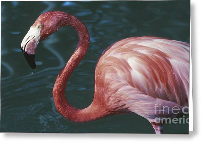 Another Tickled Pink Flamingo  Greeting Card