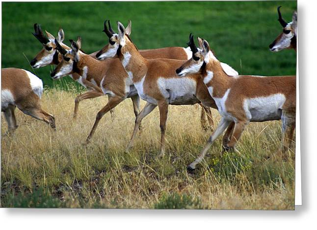 Antelope 1 Greeting Card by Marty Koch