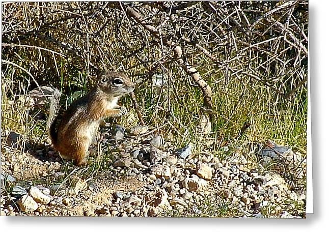 Antelope Ground Squirrel In Red Rock National Conservation Area-nevada Greeting Card by Ruth Hager